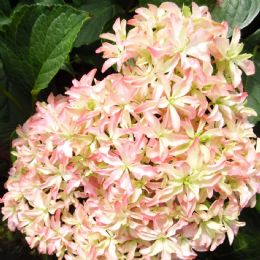 Hydrangea macrophylla Inspire (You & Me Series) (PBR)
